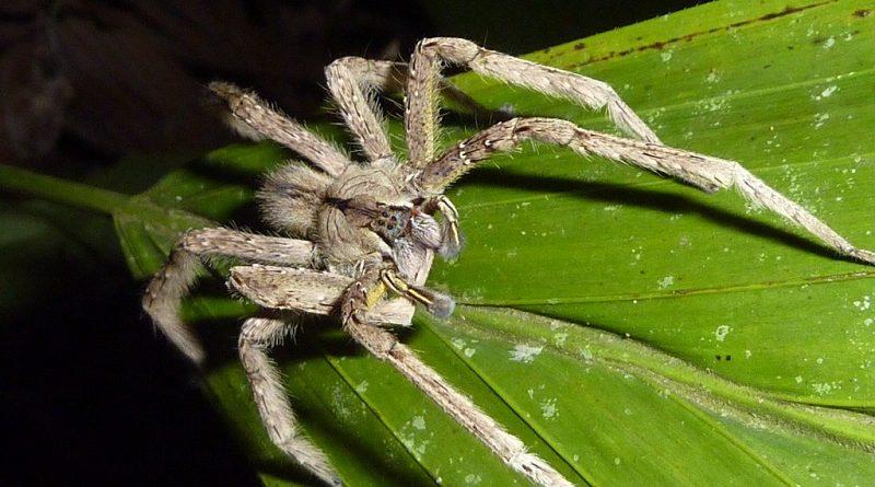 бразильский бродячий паук