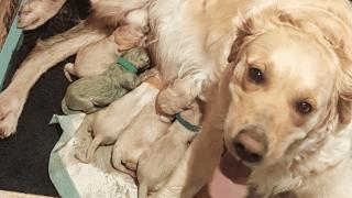 Самка золотистого Ретривера родила зеленого щенка
