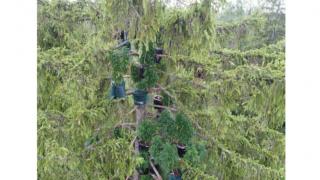 В Аугсбурге обнаружено дерево с марихуаной
