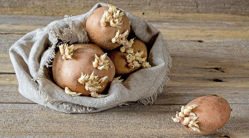 Здоровье: Можно ли есть проросший картофель?