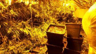 В доме ужасов нашли огромную плантацию марихуаны
