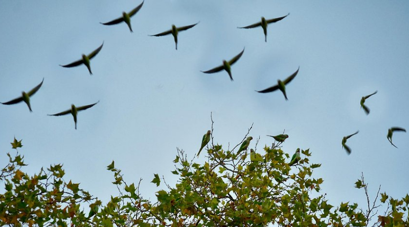 Новости: Доступная экзотика: нашествие попугаев в Кельне