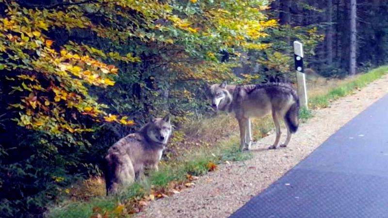 Происшествия: В Баварии сбежала стая волков