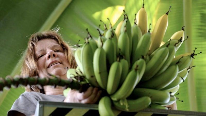 Общество: Во Франкфурте плодоносят банановые деревья