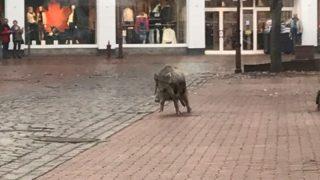 В земле Шлезвиг-Гольштейн кабаны нападают на людей