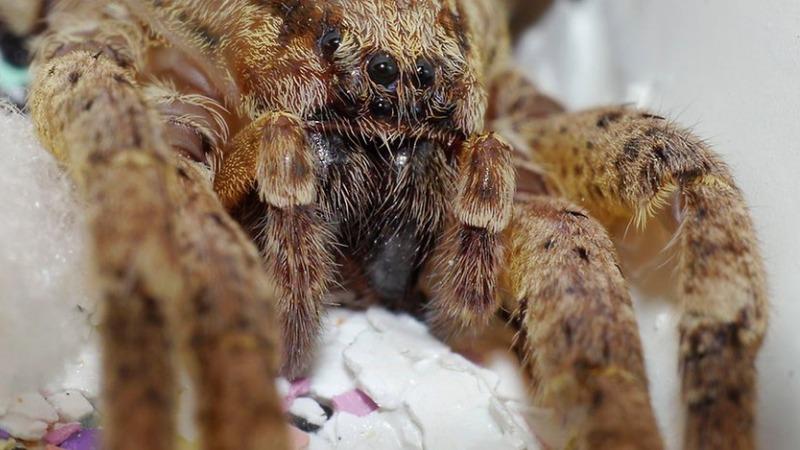 Общество: Ядовитые пауки распространяется по всей Германии