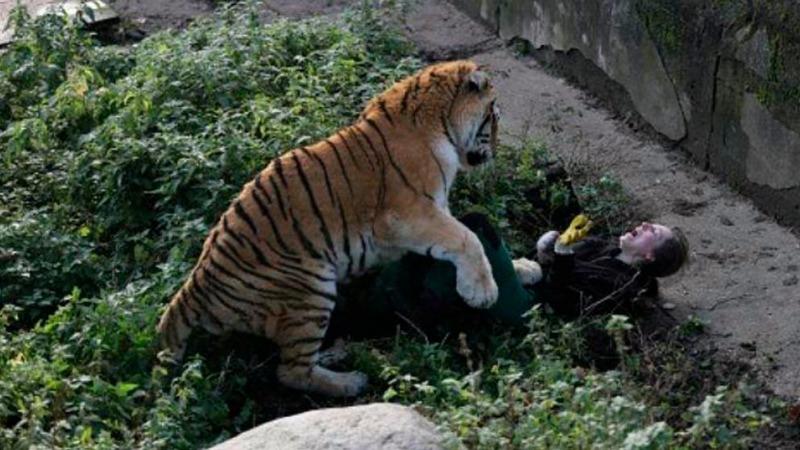 Отовсюду обо всем: Тигр едва не съел сотрудницу зоопарка