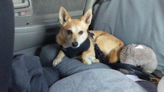 Необходимо ли пристегивать собаку в машине?