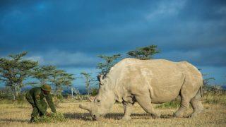 Погиб последний в мире самец северного белого носорога