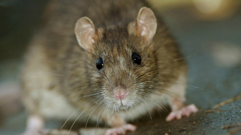 Полезные советы: Крысы в доме: как определить их наличие и как избавиться от них?