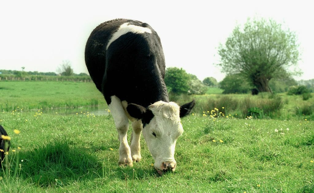 Отовсюду обо всем: Корову хотят убить за незаконное пересечение границы