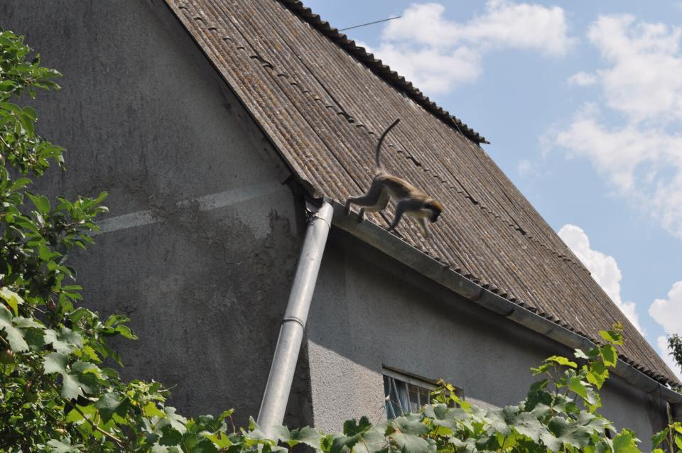 Отовсюду обо всем: Девять обезьян сбежали из зоопарка и поселились в дачном кооперативе