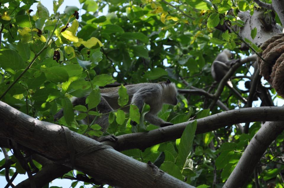 Отовсюду обо всем: Девять обезьян сбежали из зоопарка и поселились в дачном кооперативе рис 2