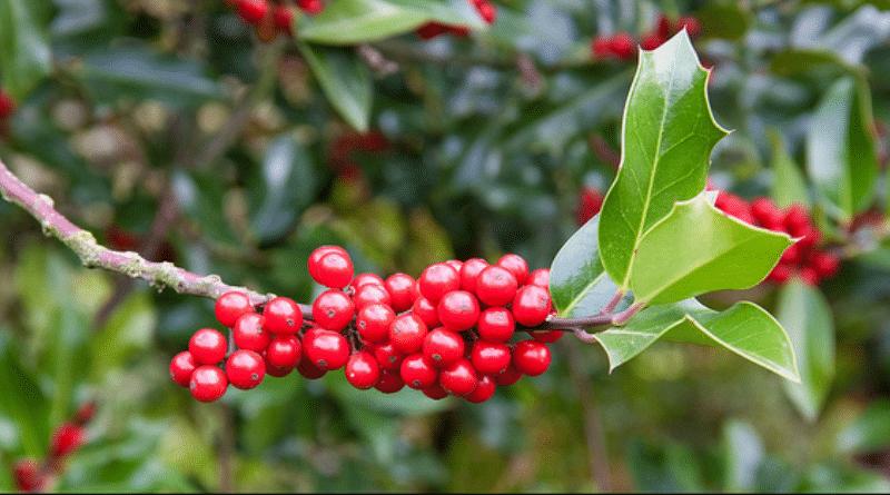 Полезные советы: Опасный рождественский декор: эти растения могут вызвать отравление рис 3