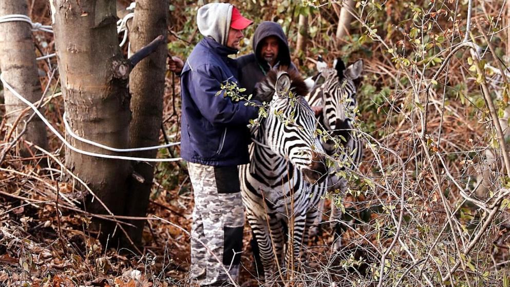 Происшествия: В Дрездене из цирка сбежали зебры. Одно животное погибло