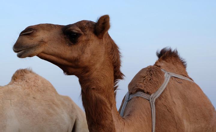 Общество: Ослиное и верблюжье: разновидности молока, которое можно купить в Германии рис 2