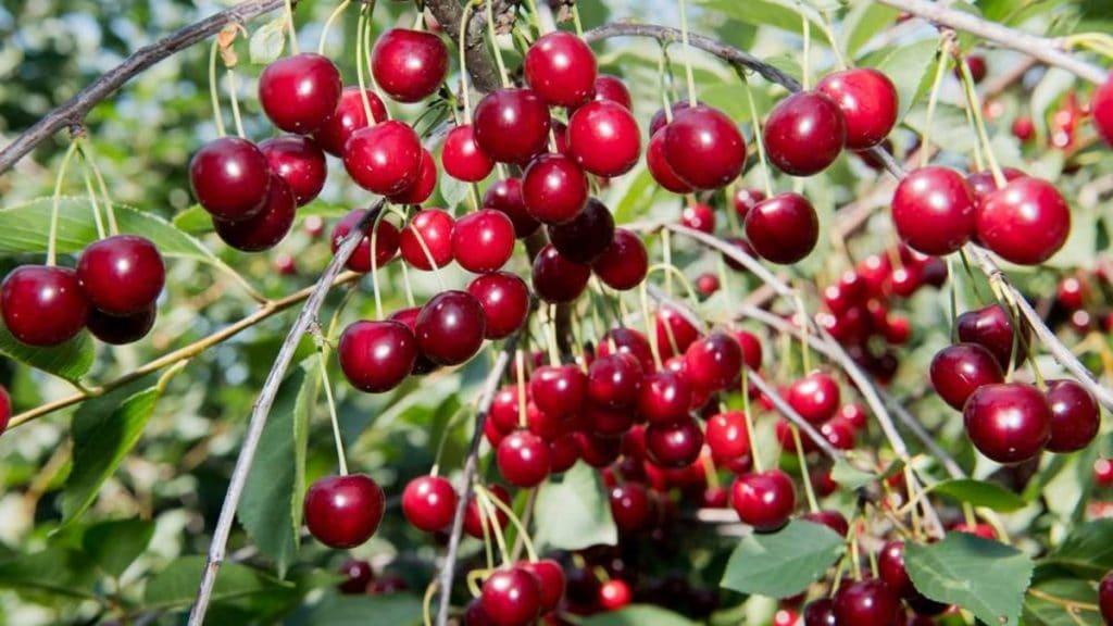 Полезные советы: Как правильно замораживать вишню, чтобы плоды оставались сочными